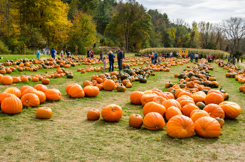 people looking at rows of pumpkins